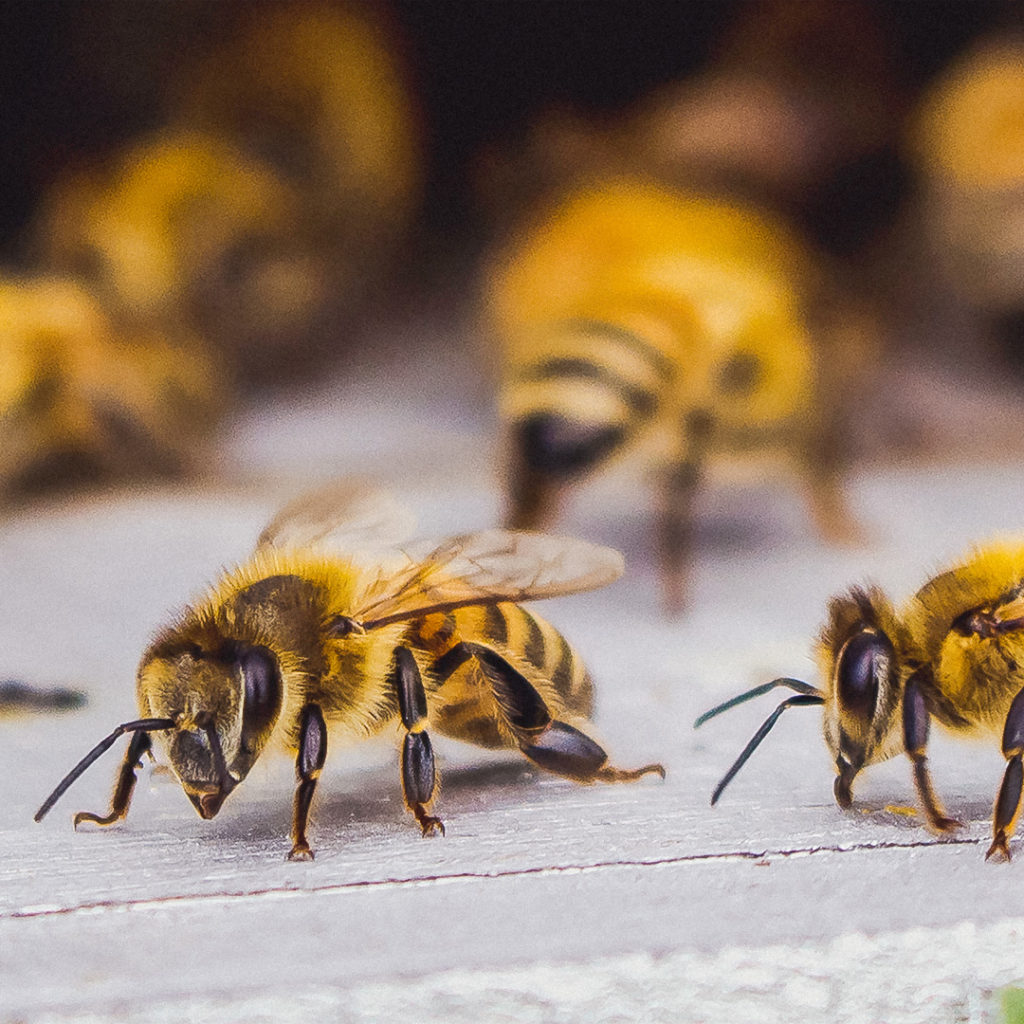 Picture of bees - How hemp is saving the bees
