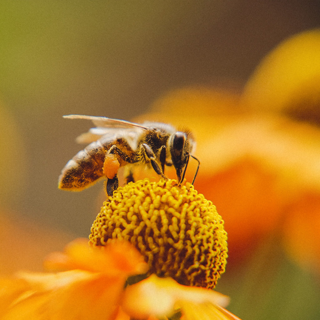 Picture of a bee - How hemp is helping the bees