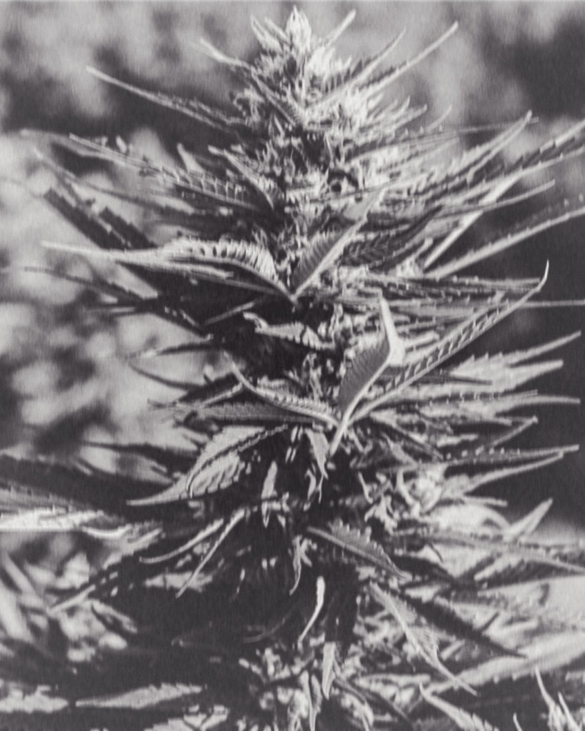 Hemp For Victory! The history of hemp during WW2 - Hemp Plant Image
