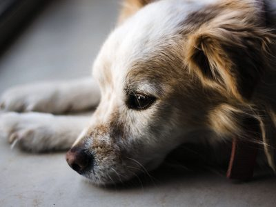 CBD For Pets - Dog
